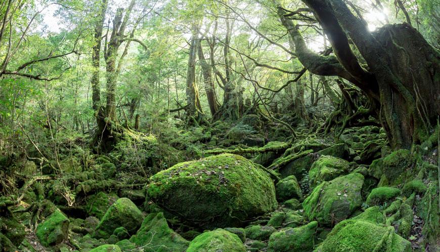 屋久島にある例の超有名な森。ここの森は何度訪れても素材の宝庫。次回作は屋久島を主題にした作品を考え中。